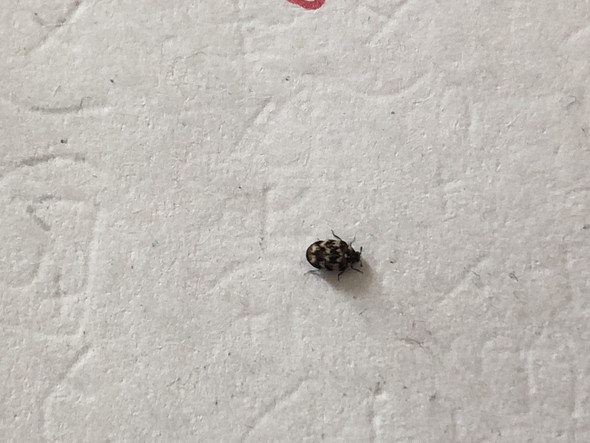 Was ist das für ein Tier/Käfer in meinem Zimmer?