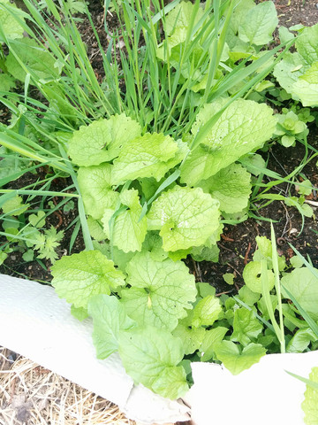 Was ist das für ein Unkraut das in meinem Garten wie verrückt wächst?