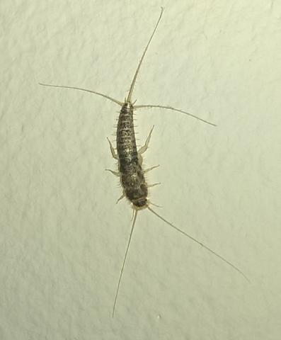ein widerwertiges insekt gefunden an meiner flurwand. Black Bedroom Furniture Sets. Home Design Ideas