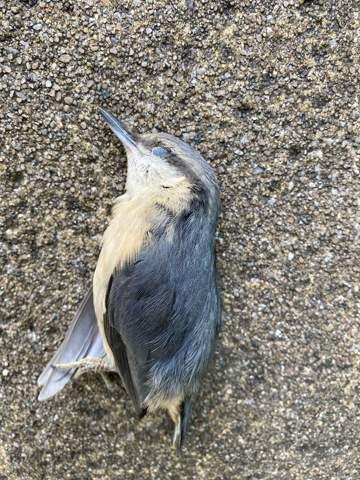 - (Vögel, Vogelartbestimmung)