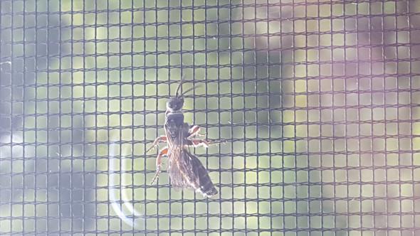 Insekt  - (Insekten, Wespen)