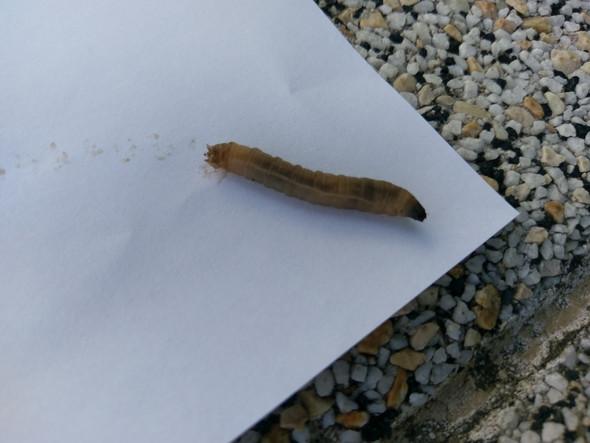 Was ist das für ein Wurm / Raupe / Larve? (Garten, Insekten, Schädlinge)