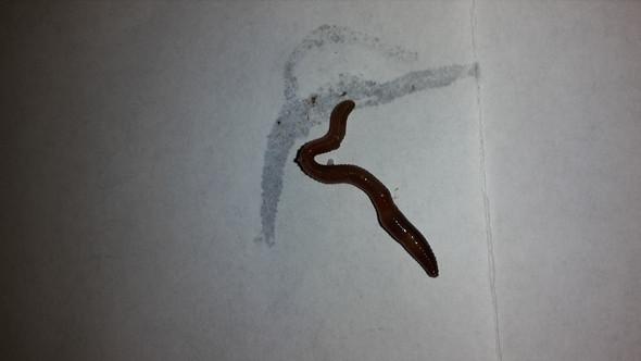 Bild des kleinen Monsters :) - (Aquarium, Parasiten)