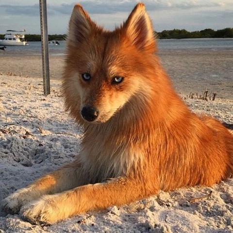 Was ist das für eine ( Hunde) Rasse? Ist da ein Fuchs mit drin? Ist das überhaupt ein mischling?