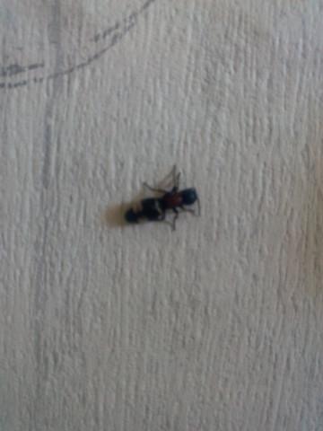 was ist das f r eine ameise oder ist es berhaupt eine insekten ameisen. Black Bedroom Furniture Sets. Home Design Ideas