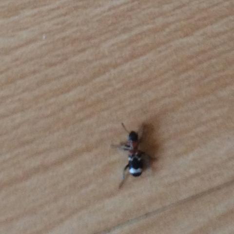 was ist das f r eine ameise insekten ameisen. Black Bedroom Furniture Sets. Home Design Ideas