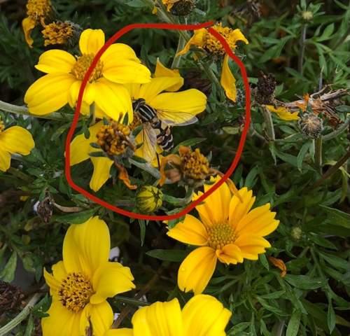 Was ist das für eine Art von Wespe oder biene?