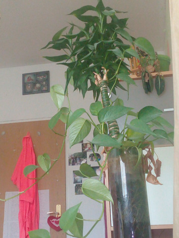 Die Efeutute einfach nicht beachten  - (Pflanzen, Bambus)