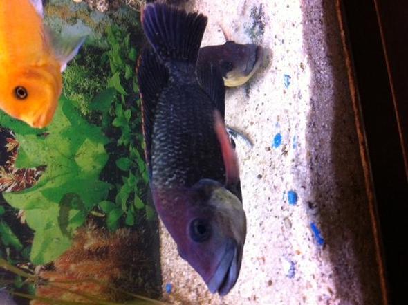 Barsch 1 - (Fische, Aquarium, Buntbarsche)