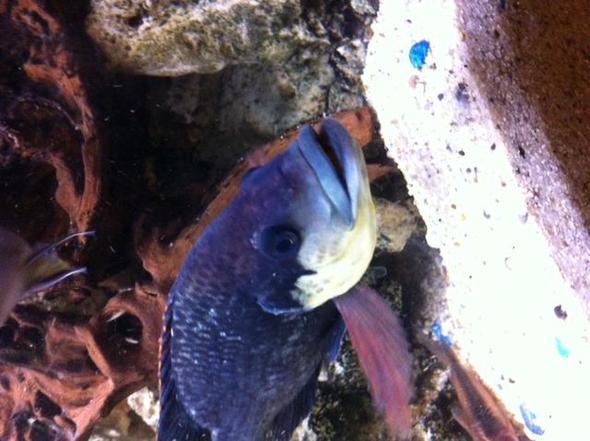 Barsch2 - (Fische, Aquarium, Buntbarsche)