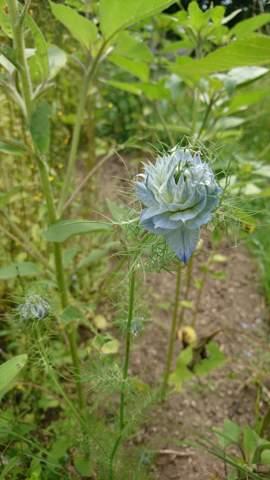 Was ist das für eine blaue Blume im Garten?