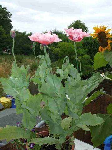 2a - (Pflanzen, Blumen)