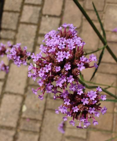 besagte Blume - (Garten, Pflanzen, Blumen)