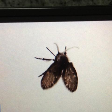 was ist das f r eine fliege insekt im haus insekten. Black Bedroom Furniture Sets. Home Design Ideas