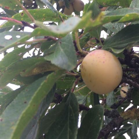 Frucht - (Obst, Baum, Früchte)