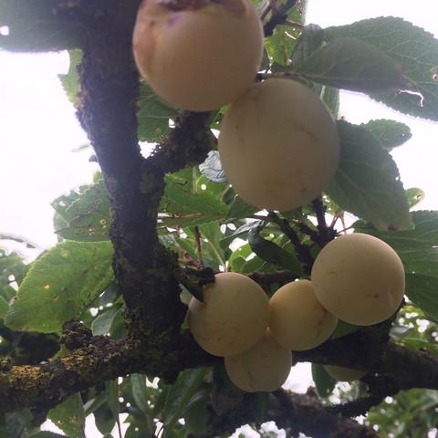 Früchte - (Obst, Baum, Früchte)