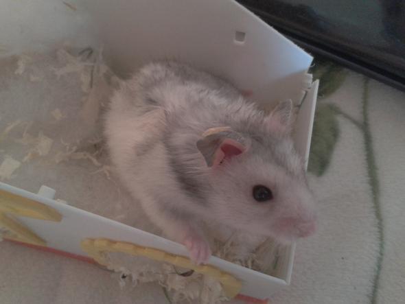 Unbekannte Hamster-Art - (Tiere, Haustiere, Hamster)