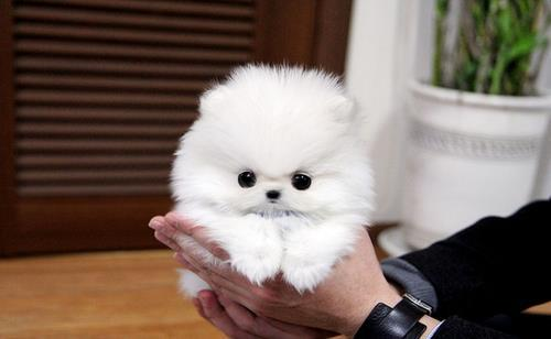fluffy miniature dogs - photo #30