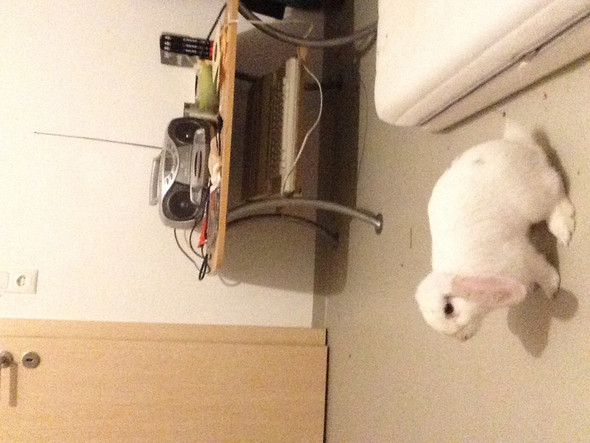 Kaninchen - (Kaninchen, Rasse)