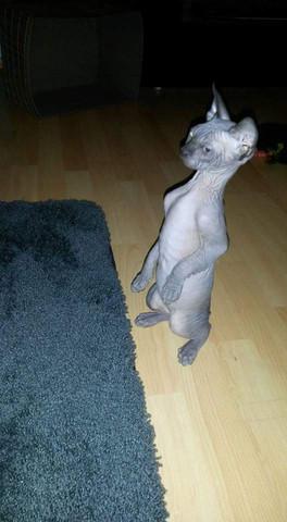 Katze 2 - (Rasse, gefährlich)