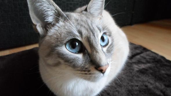 Was ist das für eine Katzenrasse?(siehe foto)
