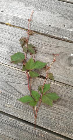 Kletterpflanze - (Kletterpflanze, welche Pflanze)