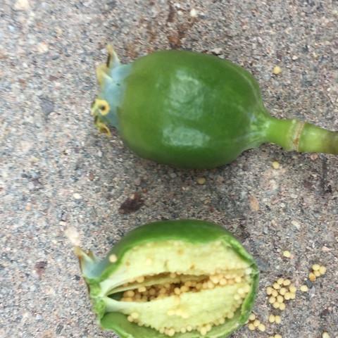 Knospe  - (Garten, Pflanzen, Natur)