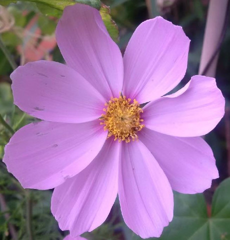 Lila Blüte - (Garten, Blumen)