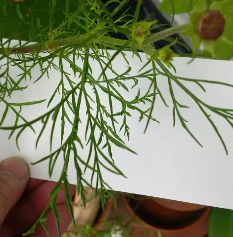 feingliedrige Bätter - (Garten, Blumen)