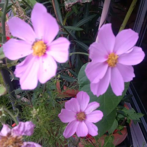 lila Blüten - (Garten, Blumen)