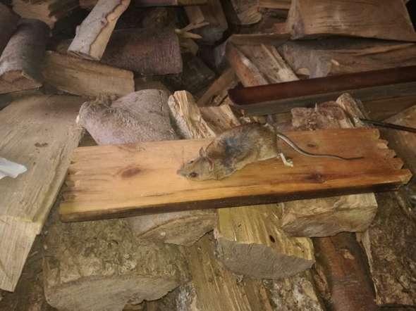 Was ist das für eine Maus (tote maus gefunden)? (Tiere