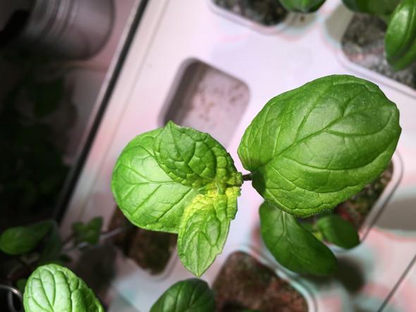 Was ist das für eine Minz-Pflanze?
