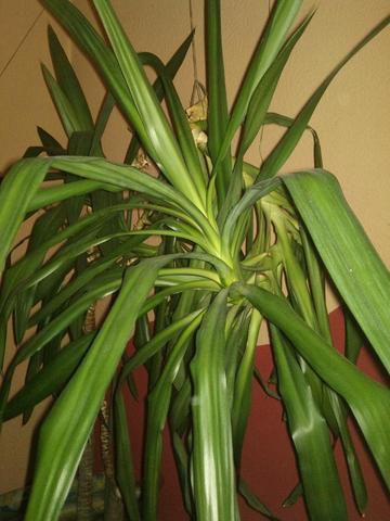 was ist das f r eine palme pflanzen botanik zimmerpflanzen. Black Bedroom Furniture Sets. Home Design Ideas