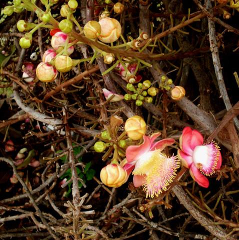 Die Blüten der Pflanze - (Pflanzen, Thailand, Botanik)