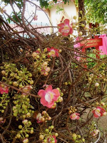 Der stachelige Wuchs der Pflanze - (Pflanzen, Thailand, Botanik)