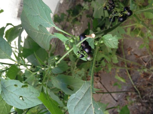 Busch und Beeren  - (Pflanzen, giftig)