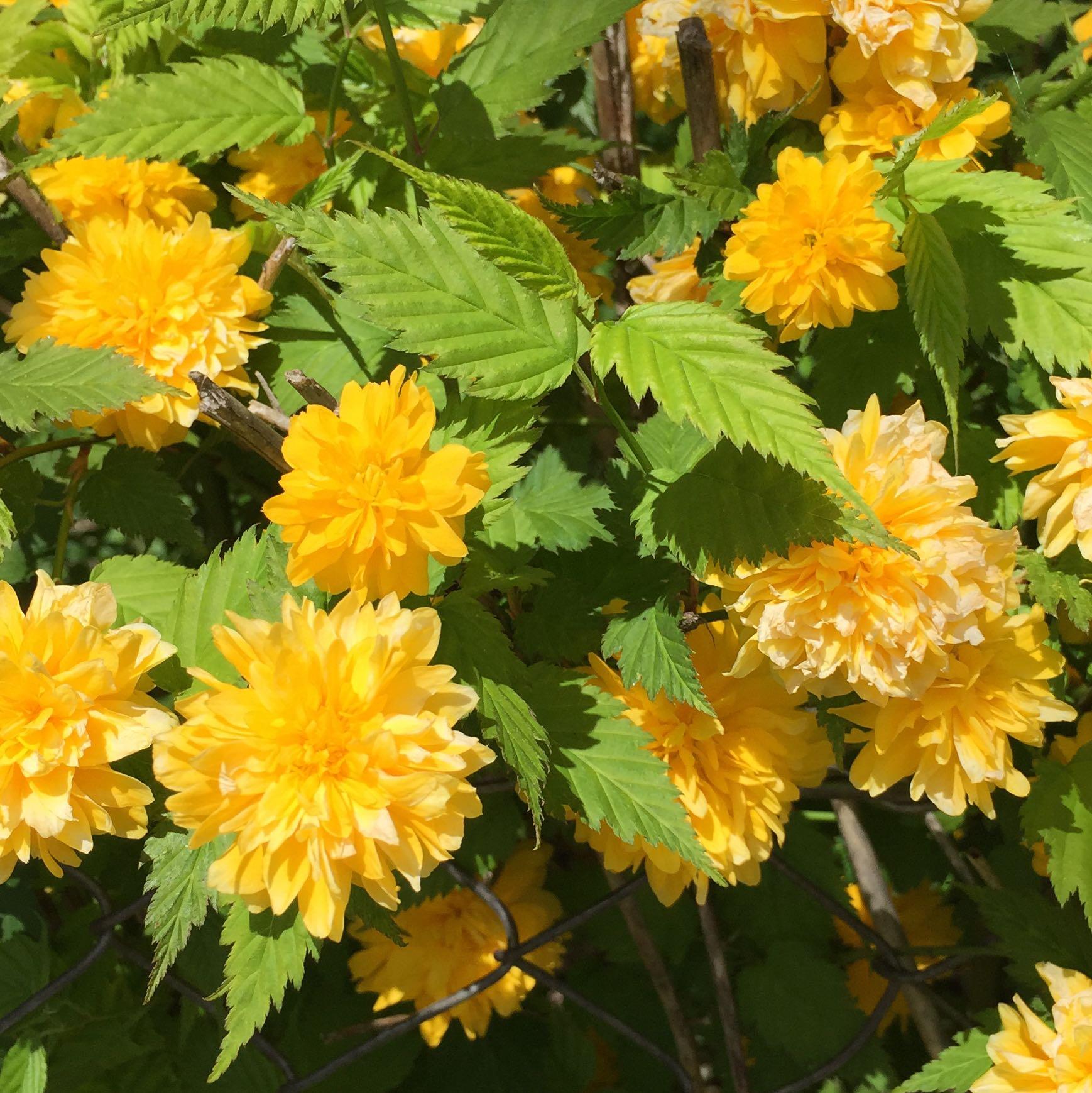 was ist das f r eine pflanze gelbe bl ten und hoch garten pflanzen natur. Black Bedroom Furniture Sets. Home Design Ideas