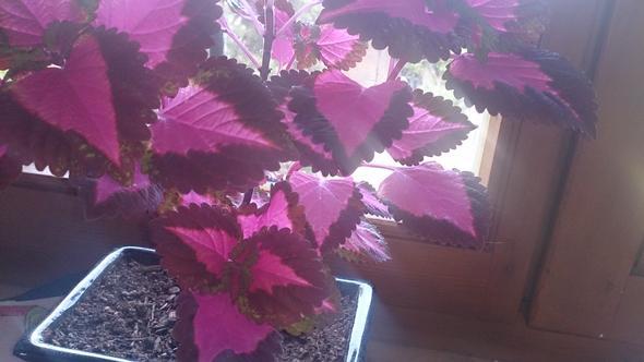 Was ist das für eine Pflanze? Pink/lila innen, braun außen