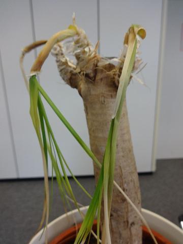 was ist das f r eine pflanze und wie kann sie gerettet werden pflanzen pflege. Black Bedroom Furniture Sets. Home Design Ideas