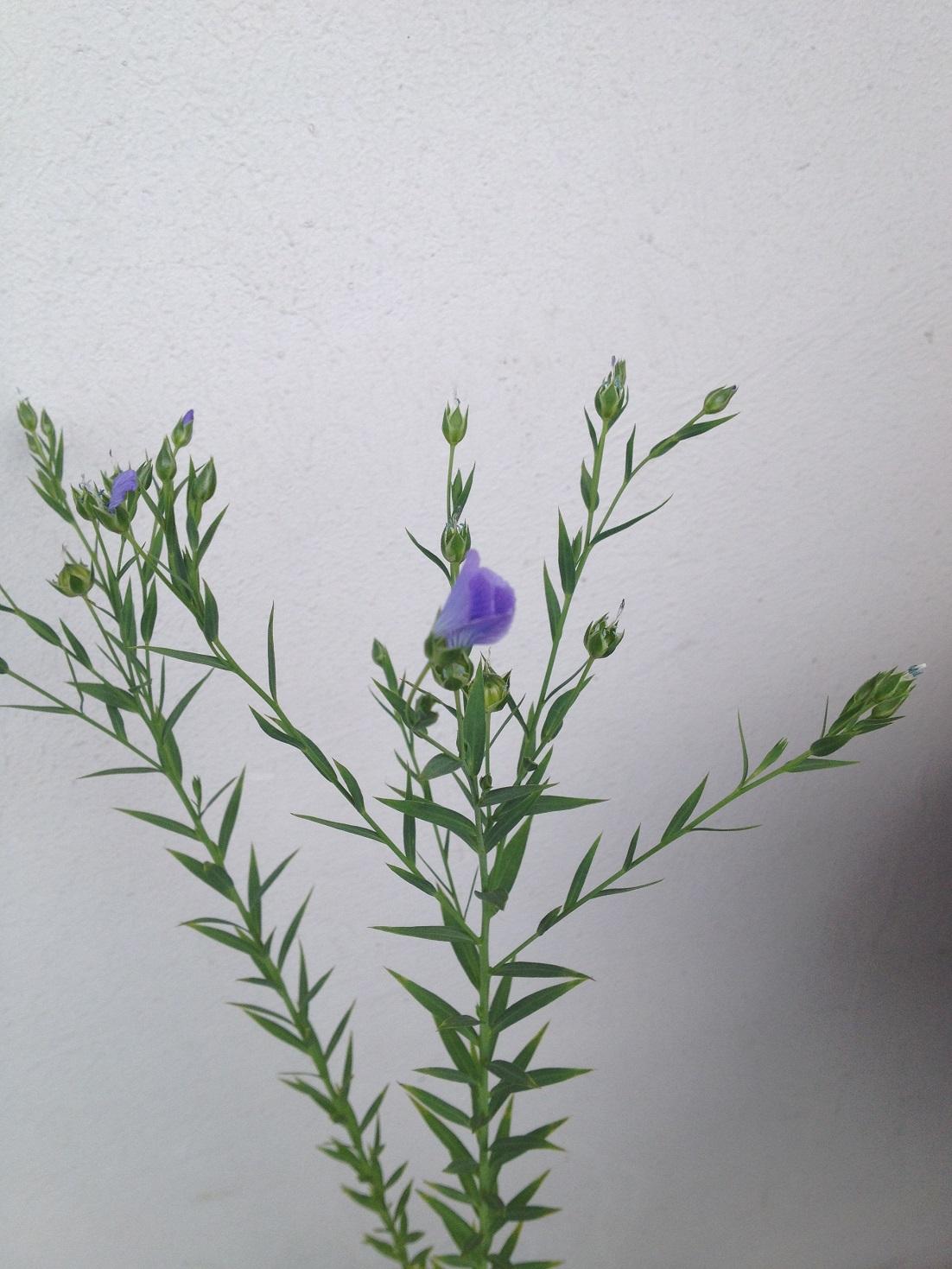 was ist das f r eine pflanze violett blaue bl ten. Black Bedroom Furniture Sets. Home Design Ideas