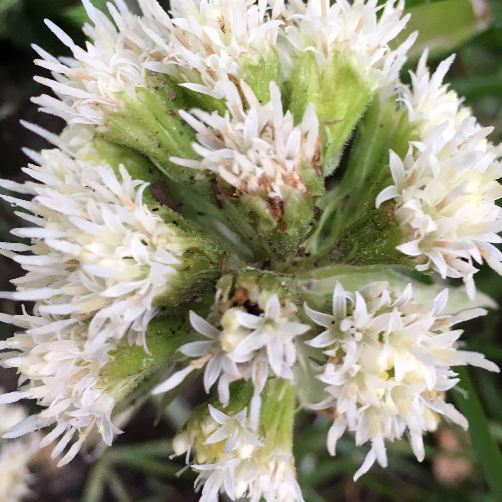 Was ist das für eine Pflanze (Weiße Spitzen, 10-15 cm, Schwarzwald ...