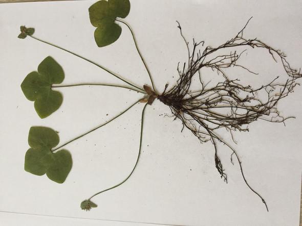 Pflanze 1 - (Schule, Pflanzen, Bestimmung)