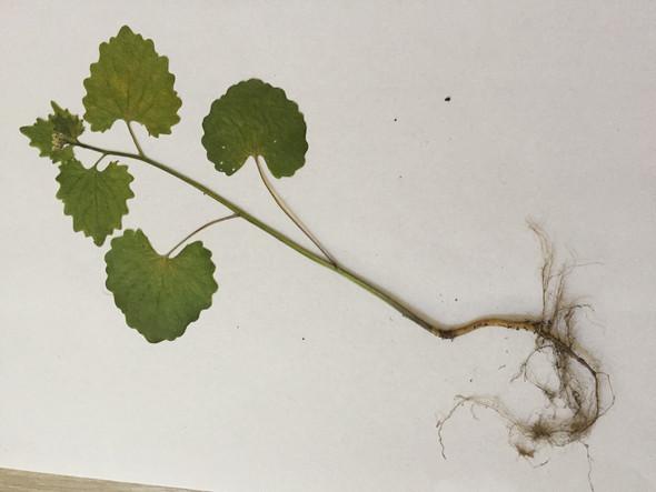 Pflanze 2 - (Schule, Pflanzen, Bestimmung)