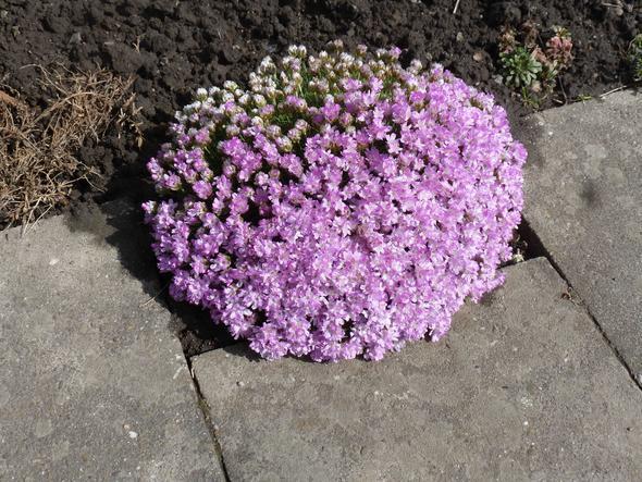 Polsterpflanze - (Garten, Pflanzen, Blumen)