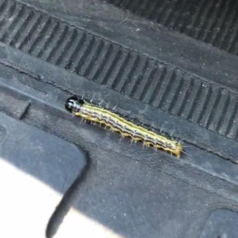 was ist das f r eine raupe ein insekt tiere garten natur. Black Bedroom Furniture Sets. Home Design Ideas