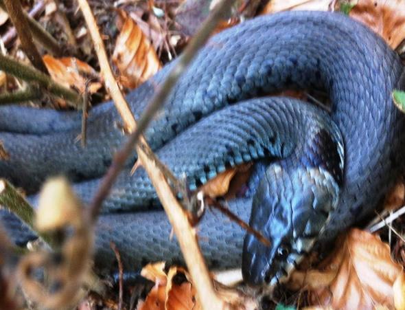 Schlange - (Schlangen, Ringelnatter)