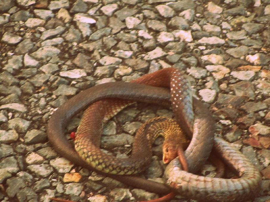 was ist das f r eine schlange auf dem bild tiere australien schlangen. Black Bedroom Furniture Sets. Home Design Ideas