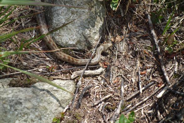 Schlange02 - (Tiere, Italien, Reptilien)