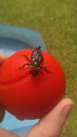 Was Ist Das Für Eine Schwarze Wespe Schwarz Wespen Hummel