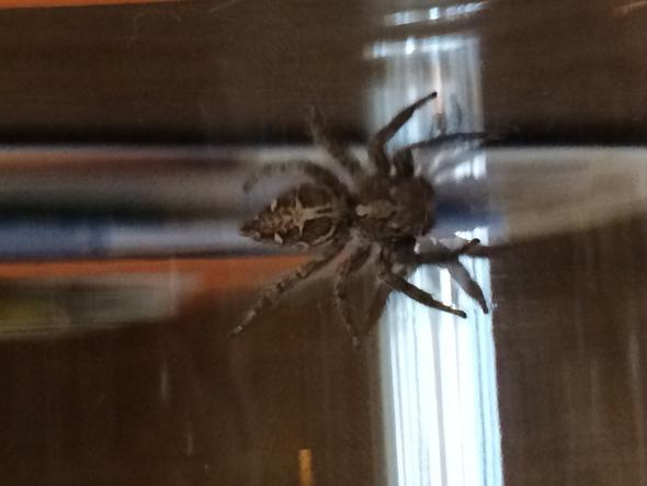 die spinne aus der türkei - (Tiere, Spinnen, Spinne)